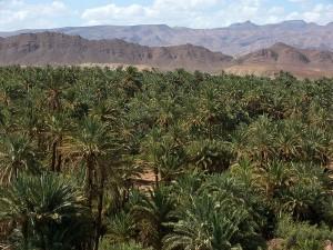 palmeraie de Draa 1